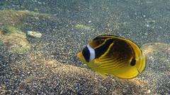 Kailua Pier Diving - II (Anders Magnusson) Tags: sea fish water hawaii snorkel dive diving olympus thebigisland kailua kailuakona andersmagnusson