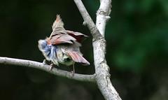 Shake It Till You Break It (Family Man Studios) Tags: nature colors birds canon spring cardinal wildlife delaware newark newarkdelaware backyardbirds 70d delawareonline dougholveck