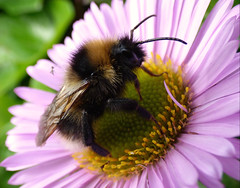Bee (Peanut1371) Tags: black flower yellow insect bee nationalgeographicwildlife