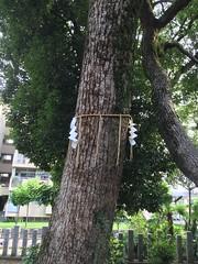 ご神木 (eyawlk60) Tags: 日本 神社 sacredtree 神木 goshinboku 寝屋川市