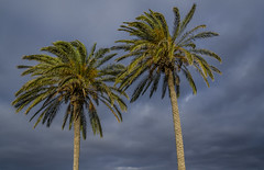 Palm Trees (Preston Ashton) Tags: trees two sky sunlight tree sunshine clouds cloudy palm prestonashton
