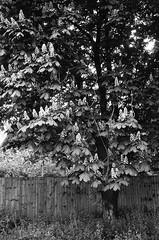 Horse Chestnut in flower (Man with Red Eyes) Tags: flower tree monochrome analog zeiss blackwhite rangefinder lancashire horsechestnut leicam2 adox silverhalide sunnysixteen td201 silvermax silvermaxadox a3minsb3mins continuousagitation distagont1435zm