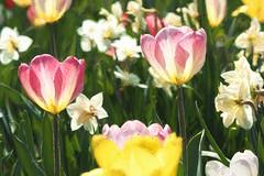 Van Gogh goes to the tulip festival 2 P5110012.jpg (Phil Kinsman (Olwebhound)) Tags: flowers spring tulips ottawa backlit sunnyday ottawatulipfestival dowslake gardensandlandscapes placestags eventstags