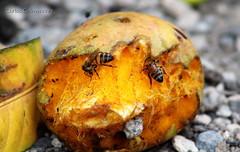 Todas al mango (KARLINHOS18) Tags: animal animals yellow canon insect photography rebel photo flickr foto stripes bee animales fotografia flick animalia insecto eosrebelt3 canoneosrebelt3 canoneosrebel1100d eosrebel1100d carloscolmenarezphotography