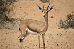 Alone (pam's pics-) Tags: nature sand dubai desert natural wildlife uae antelope unitedarabemirates wildliferefuge arabiandesert pammorris pamspics desertantelope sonya6000 dubaidesertconservationarea