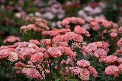 Rose -Roman- at Kyoto Botanical Gardens (yopparainokobito) Tags: rose canon eos kyoto roman  5d    eos5d kyotobotanicalgardens  eos5dclassic