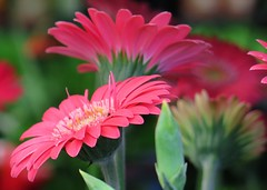 Here, there and everywhere ... :-) ( Bo ) Tags: gerbera flower plant garden outdoor dof canong16 powershot macro bokeh petal colourful pink green colour england britain europe june uk spring2016 blossom floralphotography
