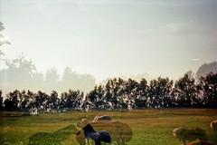 Summer Easiness. (AirSonka) Tags: horses film grass analog 35mm outside lomo doubleexposure toycamera meadow multipleexposure ponies analogue smena smena8m doubleexposed shetlandponies pelcula lausitz filmphotography pellicule kodakgold200 airsonka doppelbelichtung highlandponies soniakaniss ponyhofforesthill