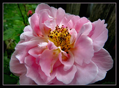 Rosenliebhaber (karin_b1966) Tags: plant flower nature garden blossom natur pflanze blume blte garten 2016 yourbestoftoday roseconstancespry