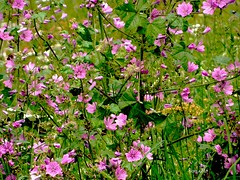 Lavatera (Domalto) Tags: flower rose champ sauvage buisson lavatere