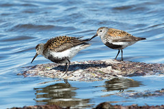 Adult Dunlins at Revtangen S24A9835 (grebberg) Tags: bird norway adult calidris july dunlin calidrisalpina jren rogaland shorebird 2016 wader klepp revtangen