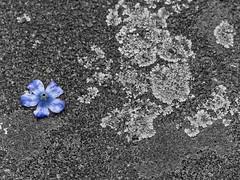 Déposée par la pluie - Deposited by the rain (p.franche malade - sick) Tags: street blue brussels blackandwhite white black flower blanco fleur monochrome europe belgium belgique noiretblanc negro bruxelles panasonic dxo lichen lin minimalism rue brussel zwart wit hdr schaarbeek schaerbeek bleue 白黒 minimalisme belgïe schwarzweis mustavalkoinen inbiancoenero désaturation svartochvitt flickrelite أبيضوأسود bestofbw noiretblancpartiel fz200 μαύροκαιάσπρο pascalfranche pfranche skancheli שוואַרץאוןווייַס partiellepartial 黑白чернобелоеизображение