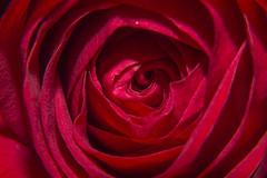 rosa01 (DrunkyMonKey) Tags: macro rosa natura fiore petali