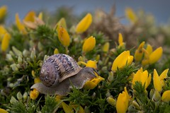 Comeflores (ramosblancor) Tags: naturaleza nature animales wildlife caracol gardensnail caracoldejardn helixaspersa tojo toxo ulexeuropaeus gorse eating comiendo flores flowers cabopeas asturias