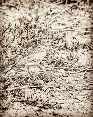 # # #_  _        Crested_Lark   Galerida_Cristata  # # #  #bird #birds #hdr  #hdr #photo # # # #Sepia color #goodmorning #a (photography AbdullahAlSaeed) Tags:  birds blackandwhitephotography  animal hdr  friends tagsforlikes follow bw nature sepia goodmorning instalike  saudiarabia    likeforlike bird photo animals  l4l ksa like4like followme