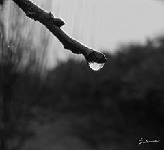Gota de roco invernal (jlo_photomaker) Tags: bw white black dew tau rugiada rocio bwphoto rose