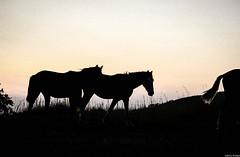 Horses sunset (JoanZoniga) Tags: travel sunset horses horse caballo atardecer caballos costarica silhouettes explore atenas discover puravida canoneoskissx7 vistasatenas jczuniga