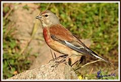 Fanello (Carduelis cannabina) (michelangelo11) Tags: sardegna mountain nature birds animals fauna nikon sardinia natura uccelli montagna barbagia gennargentu desulo