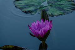 Longwood Gardens -24 (Webtraverser) Tags: gardens waterlily waterlilies longwoodgardens magichour sunsetting d7000