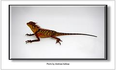 Acanthosaura bitangensis (5) (Vogelfoto69) Tags: acanthosaura bitangensis nackenstachler terrarium brse holland houten echse jungtier grn rot stacheln terraristik herpethologie dinosaurier lebend lebender malaysischer malaysia asien borneo