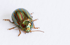 167/366: The culprit (judi may) Tags: macro pattern stripes beetle pest rosemarybeetle canon7d day167366 366the2016edition 3662016 15jun16