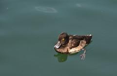 Fuligule Morillon (TICHAT10) Tags: eau suisse explore animaux oiseaux lebouveret lacleman fuligulesmorillon