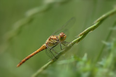 Found one! :) (Deirdre MagMa) Tags: nature field juni maastricht dragonfly natuur 100mm deirdre veld macrolens 2016 libel bosscherveld canon7dmarkii deirdremoments