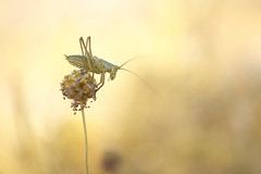 _DSF8695 (Evren Unal Photography) Tags: sunset summer sun sunlight color macro art nature colors field animal closeup bug insect 50mm golden spring alone dof bokeh outdoor ngc deep insects bugs hour fujifilm minimalism orthoptera depth carlzeiss artnature touit2850m