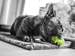 French bulldog [in explore 01.07.2016] (Anophelez) Tags: dog pet france toy blackwhite bulldog explore hund schwarzweiss ce bulldogge explored