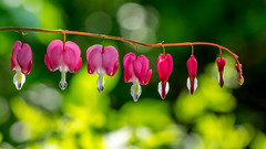 Line of Hearts (Jens Haggren) Tags: olympus em1 40150f28pro bleedingheart flower bokeh colours ourgarden nacka sweden