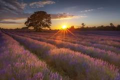 Purple Rising (www.PrinceImages.co.uk) Tags: lavender croydon 5dmkii canon landscape sunrise sunny purple mood tree