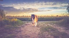 Soulmates Forever (Bokehschtig (back, but catching up slowly)) Tags: dog canine aussie australianshepherd matte pov dof bokeh depthoffield clouds sunset sun nature field sony a7 sonya7 fe1435 zeiss 35mm f14 sel3514z