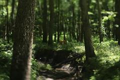 Merwin Preserve (Tony Pulokas) Tags: summer tilt bokeh deer forest merwinpreserve parklandsfoundation illinois mackinawriver creek stream virginiacreeper blur whitetaileddeer tree