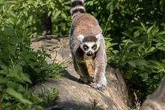 Lemur (tony143) Tags: scotland edinburgh llama edinburghzoo