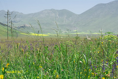 Castelluccio (6) (mauro_pet) Tags: fiori castelluccio fioritura