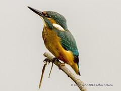 Kingfisher ( juvenile male )22/06/16 (johnatkins2008) Tags: camera riverside wildlife lakeside birdwatching waterside kingfishers wildlifephotography canonphotography eos7d johnatkins2008