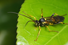 Large Ichneumon wasp (Lord V) Tags: macro bug insect wasp ichneumon