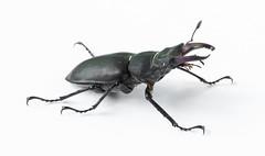 Stagbeetle 2 (Jeaunse23) Tags: macro beetle stagbeetle coleoptera lucanuscervus