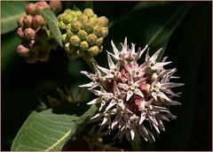 Milkweed Flower (Karen McQuilkin) Tags: macro nature utah woods hike highfive milkweedflower karenmcquilkin
