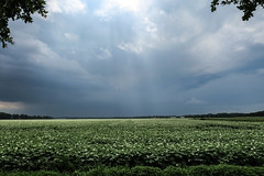 Some water for the potatoes :)  [Explored 27-6-2016 Thank you] (lique1304) Tags: sky nature rain clouds potatoes outdoor farming crop fields groningen darkclouds westerwolde g3x