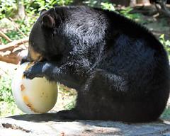 Black Bear (NikonMike53) Tags: bear black nczoo blackbear northcarolinazoo