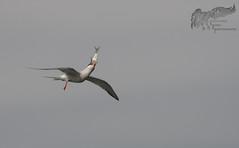 Common Tern 6_27 1 (krisinct- Thanks for 12 Million views!) Tags: nikon 300 f4 afs d500