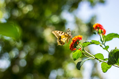 Free as a butterfly (annfrau) Tags: butterfly farfalla swallowtail hbw bokeh nature