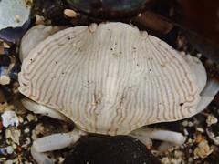 Yaquina Head tide pools, juvenile red rock crab (BLMOregon) Tags: underwater sealife pacificocean newport pacificnorthwest oregoncoast yaquinahead tidepools tidepool pacificcoast oceanlife newportoregon yaquina underwaterlife