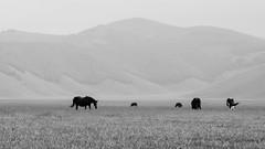 Cavalli al pascolo (bambo_85) Tags: nikon d5100 tamron70300 castelluccio norcia umbria cavalli horses natura landscape biancoenero bw