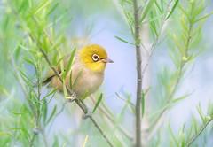 Silvereye (Zosterops lateralis) (Kristian Bell) Tags: wild bird animal canon bell wildlife australia melbourne victoria kris kristian 2016 silveryeye