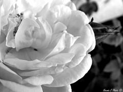Innocence (Noemie.C Photo) Tags: innocence peace paix white blanc black noir monochrome gris grey flower fleur rose jardin garden macro petals petales nature specifis specifics details pistil
