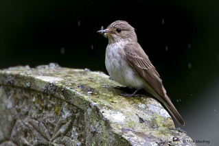 Spotted flycatcher in Northumberland