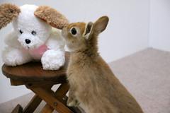 Ichigo san 223 ICHIGO san  (mensore) Tags: family pet brown cute rabbit bunny dwarf netherland ichigo   netherlanddwarf