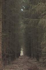 (nettisrb) Tags: wood trees tree nature landscape forrest landschaft kiefer wald bume tanne tannen waldweg